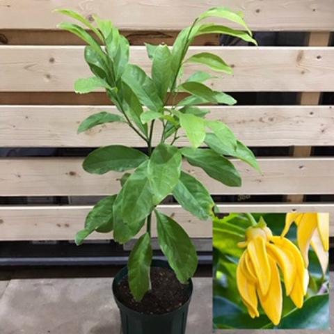 【希少種・これぞ本物のイランイラン】とても強い芳香が魅力の強香性イランイラン(クライミング種) Jacaranda mimosifolia  5号ロングスリット鉢