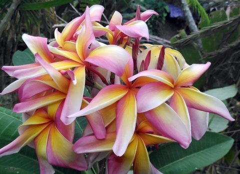 【特別SALE! 通常価格の10% OFF】超巨大輪・鉢植えプルメリア 'Rainbow Starburst'' 接木苗(越冬株・4号鉢)