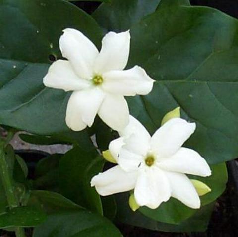 【耐寒性あり】とても香りのよいピカケジャスミン(一重咲き系) 3号ポット苗