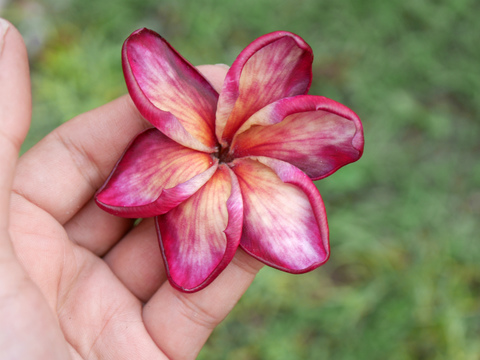 限定1鉢・ユニークな花を咲かせるプルメリア 'Red Orange'   SJプレミアム品種カット苗由来の接ぎ木苗(越冬株・3.5号鉢)