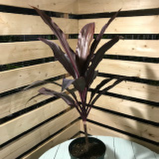 【希少種・ハワイ産】ティーリーフの木・リリノエ Ti Plant 'Lilinoe'  5号ロングスリット鉢(ハワイでレイメイキングに使われる赤葉の代表品種)