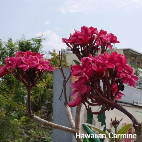 【希少種・鉢植え】プルメリア 'Hawaiian Carmine' 接木苗(越冬株・4号鉢)