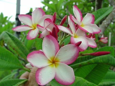 【希少なコンパクト種】限定1鉢・フロリダ生まれのプルリア Lilly Warmtoes 苗木(越冬株・4号鉢)
