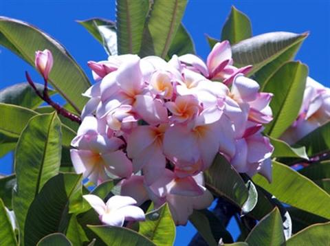 限定1鉢・巨大輪のプルメリア 'Daisy WIlcox' 苗木(越冬株・4号鉢)
