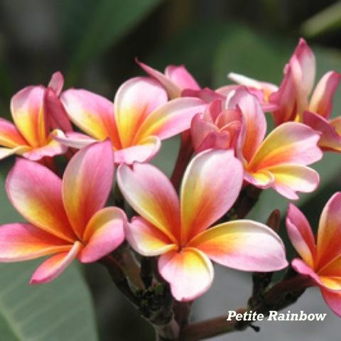 【特別SALE! 通常価格の10% OFF】鉢植えプルメリア 'Petite Rainbow' 接木苗(越冬株・4号鉢)