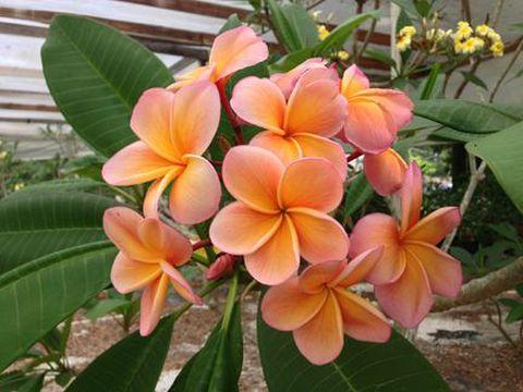 【希少品種】1鉢限定・フロリダ産のプルメリア 'Orange Burst' 苗木(越冬株・4号鉢)