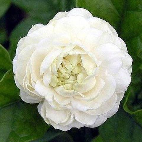 【超巨大輪】とても香りがよくゴージャスな花を咲かせるピカケジャスミン(牡丹咲き系) 3号ポット苗