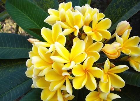 【国産カット苗】ブーケ咲きしやすいハワイアンプルメリア ''Heidi Gold' カット苗 ●ジャンボ苗