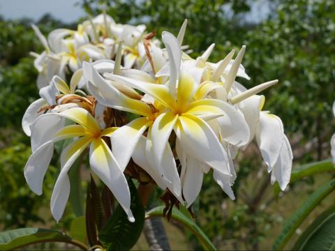 【国産カット苗】2本限定! 超巨大の希少種プルメリア 'Ammaron's Curly White' カット苗 (発根促進処理済み苗をお届け)