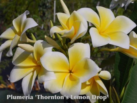 【特別SALE! 通常価格の20% OFF】プルメリア 'Thorntons Lemon Drop' 苗木(越冬株・4号スリット鉢)