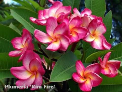 鉢植えプルメリア 'Rim Fire' aka 4304 接木苗(越冬株・4号鉢)