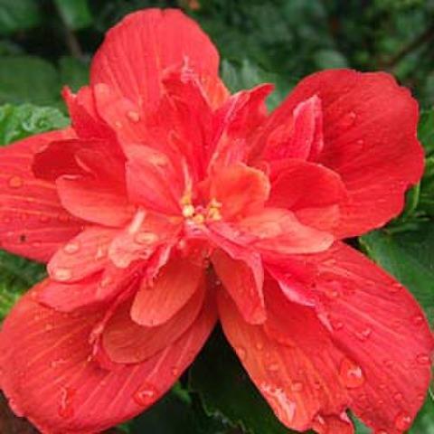 【ハワイ品種種】ハワイの原種ハイビスカス 'Madam Pele' 3号ポット苗