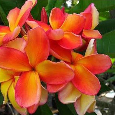 【超レア品種】1鉢限定・超レアなオレンジ系プルメリア 'Orange Fanta' 接木苗4号鉢 ●ラスト1鉢