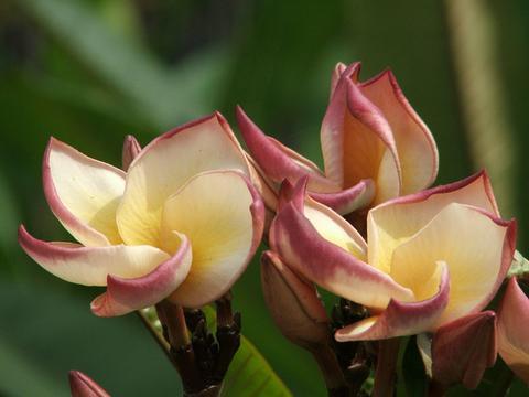 【限定1鉢】希少種のプルメリア Brown Palace 苗木・4号サイズ