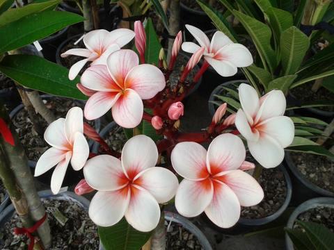 【特別SALE! 通常価格の10% OFF】鉢植えプルメリア 'Cherry Pink' 接木苗(越冬株・4号鉢)
