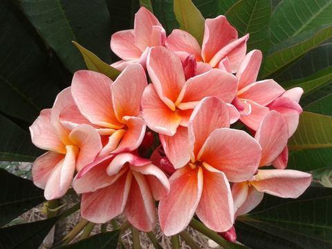 【特別SALE! 通常価格の40% OFF】人気品種の鉢植えプルメリア 'P61' 接木苗(4号鉢)