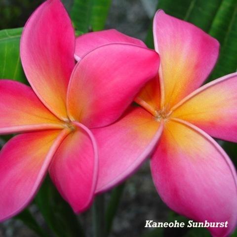【特別SALE! 通常価格の10% OFF】鉢植えプルメリア 'Kaneohe Sunburst' 接木苗(4号鉢)