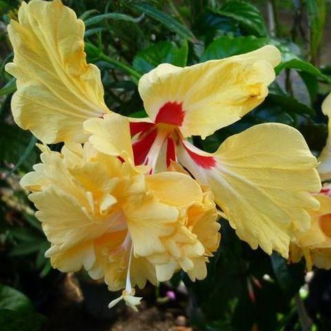 【ハワイ品種種】ハワイの原種ハイビスカス 'Lemon Flamingoi' 3号ポット苗