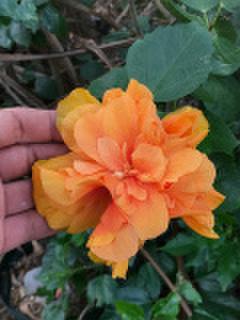 【日本初上陸の希少なハワイ品種】美しいオレンジ色の大輪八重咲き! ハワイ生まれのハイビスカス 'Papaya Sunrise'  3.5号ポット苗(3鉢限定・強剪定株)