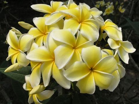 【特別SALE! 通常価格の30% OFF】ハワイ産! 鉢植えプルメリア 'Celadine' 接木苗(越冬株・4号鉢) ハワイでレイに使われる品種です