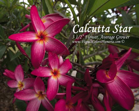 【特別SALE! 通常価格の40% OFF】鉢植えプルメリア 'Calcutta Star' 接木苗(4号鉢)