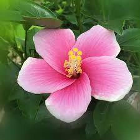 古典品種の銘花ハイビスカス 'Pink Ice' 3号ポット苗
