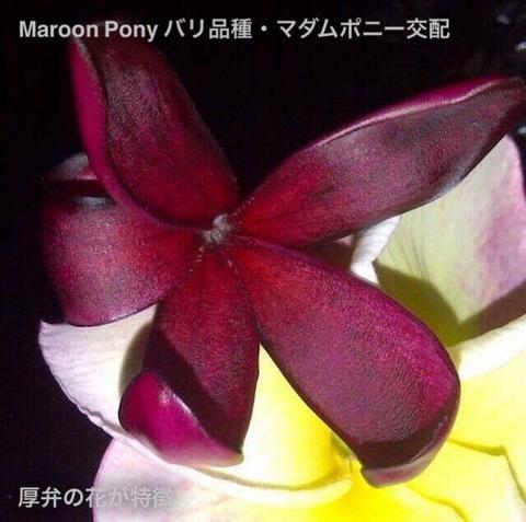 【ラスト1鉢】幻のバリ島品種のプルメリア 'Maroon Pony' 4号接木苗
