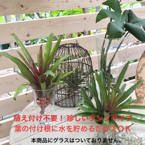 【希少種】タンクタイプのエアプランツ Tillandsia Somnians (Mサイズ)