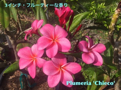 【特別SALE・通常価格の20%オフ】フロリダ生まれのプルメリア 'Chieco' 越冬済み苗木4号鉢