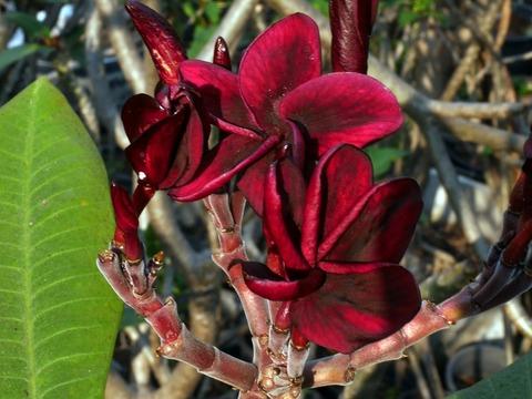 【ラスト1鉢】漆黒の赤花は必見! 超レアなプルメリア 'SJ MIDNIGHT SUN' 接木苗(越冬株・4号鉢)・漆黒の赤の美花品種