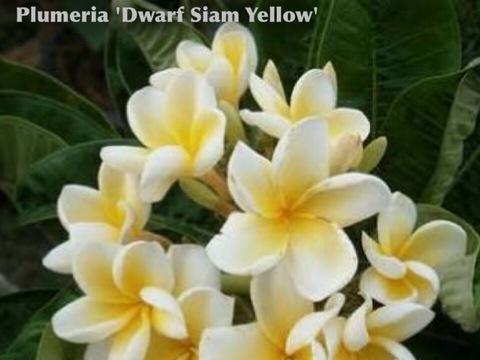【2鉢限定】 希少な超矮性プルメリア 'Dwarf Siam Yellow' 接木苗(4号鉢)超ドワーフ品種!