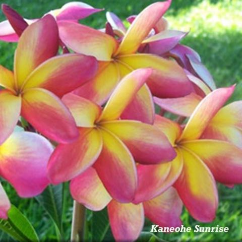 【特別SALE! 通常価格の10% OFF】鉢植えプルメリア 'Kaneohe Sunrise' 苗木(4号鉢)