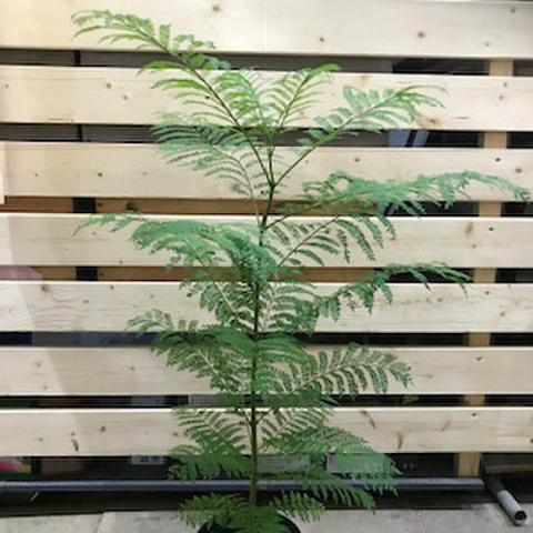 【育てやすい世界三大花木】ジャカランダ Jacaranda mimosifolia  5号ロングスリット鉢