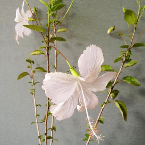 【ハワイ品種種】ハワイの原種ハイビスカス 'Waikiki White' 3号ポット苗