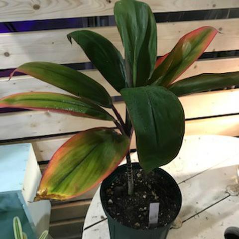 【希少種・1鉢限定】ティーリーフの木 Ti Plant 'North Ala Road'  5号ロングスリット鉢(オレンジ葉品種)