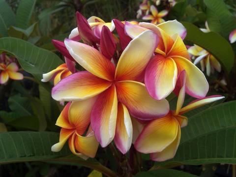 【特別SALE! 通常価格の40% OFF】鉢植えプルメリア 'Maui Rainbow' 接木苗(越冬株・4号鉢)