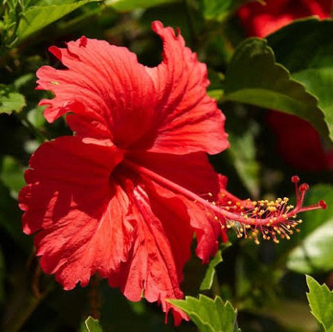 【ハワイで生垣に使われるで強健種】丈夫で咲かせやすいハワイ在来の赤花ハイビスカス 'Hawaiian Red' 3.5号ポット苗