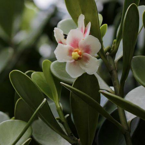 【良い香りの花を咲かせます】プアケニケニに近縁のトロピカルプランツ クルシア Clusia 5号ロングスリット鉢(大株)
