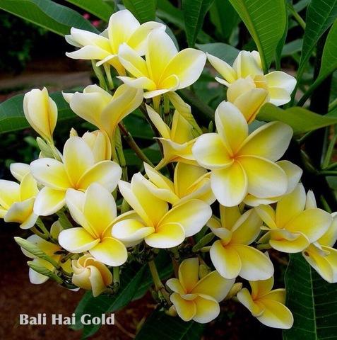 【特別SALE! 通常価格の20% OFF】入手困難な爆咲きプルメリア 'Bali Hai Gold' 苗木(接木苗・3.5号鉢)・世界的に希少なバリ島品種 【1鉢限定】