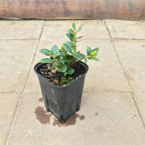 【ハワイの固有種】オヒアレフア Ohia Lehua  3.5号ロングスリット鉢