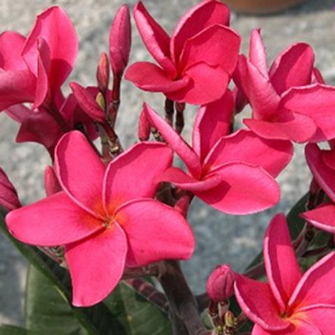 【特別SALE! 通常価格の40% OFF】鉢植えプルメリア 'Sexy Pink' 接木苗(越冬株・4号鉢)