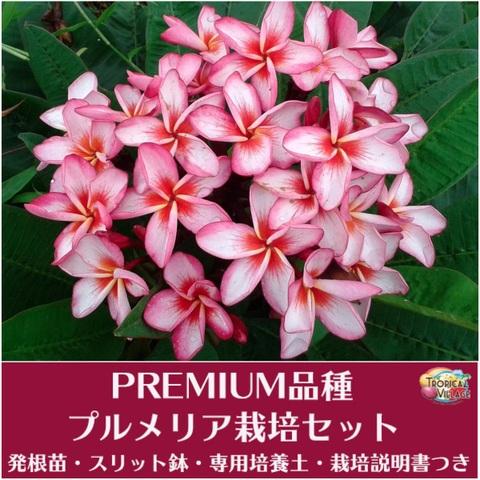 【特別SALE! 通常価格の40% OFF】希少種の鉢植えプルメリア 'Petcha Nam Ake' 接木苗(越冬株・4号鉢)