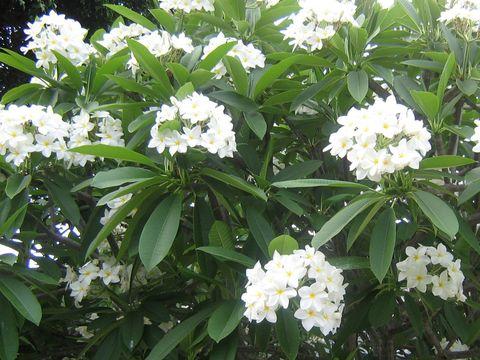 【入手困難な原種系】限定5鉢・世界的にの超希少な原種プルメリア 'Alba' 実生苗木(4号鉢)・ネイプルズ植物園由来の苗です