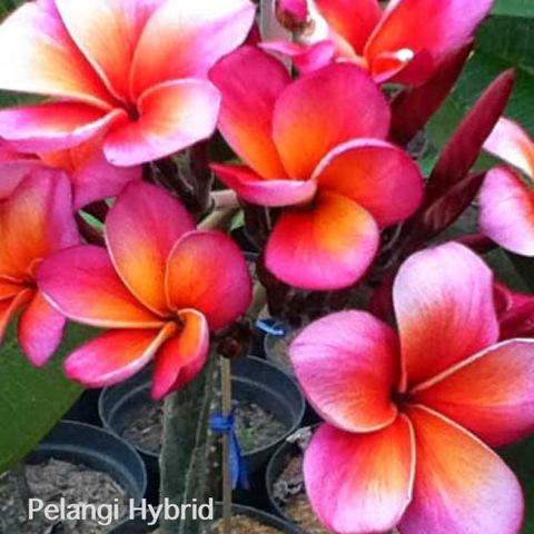 【鉢植え】プルメリア 'Pelangi Hybrid' 接木苗(越冬株・4号鉢)バリ島の希少種