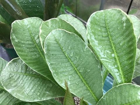 【特別SALE! 通常価格の40% OFF】希少種・鉢植えプルメリア 'Silver Leaf' 接木苗(越冬株・4号鉢)