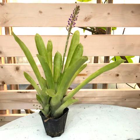 【2株限定・希少種】めったに流通しない花芽付き! 耐寒性エクメア Aechmea gamosepala   スリットポット植え