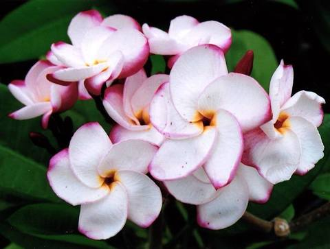 【特別SALE! 通常価格の10% OFF】鉢植えプルメリア 'Pink Pansy' 接木苗(越冬株・4号鉢)