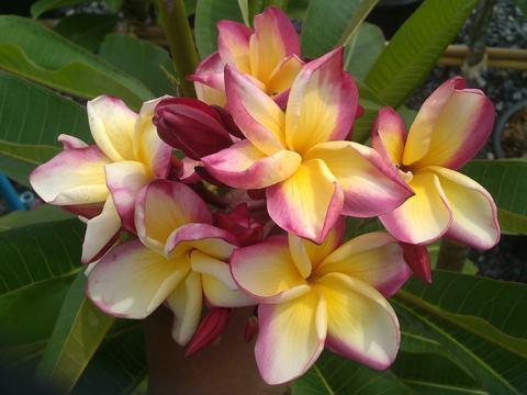 【特別SALE! 通常価格の40% OFF】鉢植えプルメリア 'P6'  接木苗(越冬株・4号鉢)
