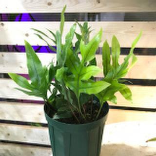 【希少種】ハワイのシダ グリーンラウアエ Green Lauae  5号ロングスリット鉢