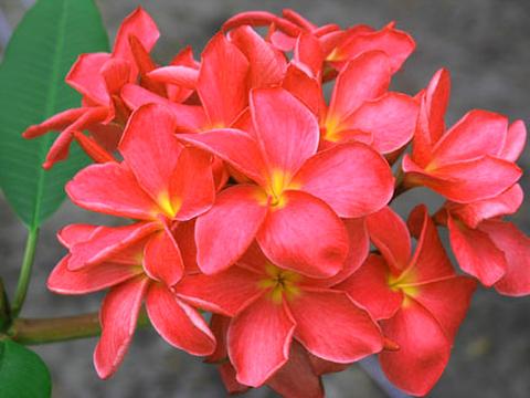 【鉢植え苗木】フロリダ生まれの美化品種のプルメリア 'Kapiolani' 4号苗木